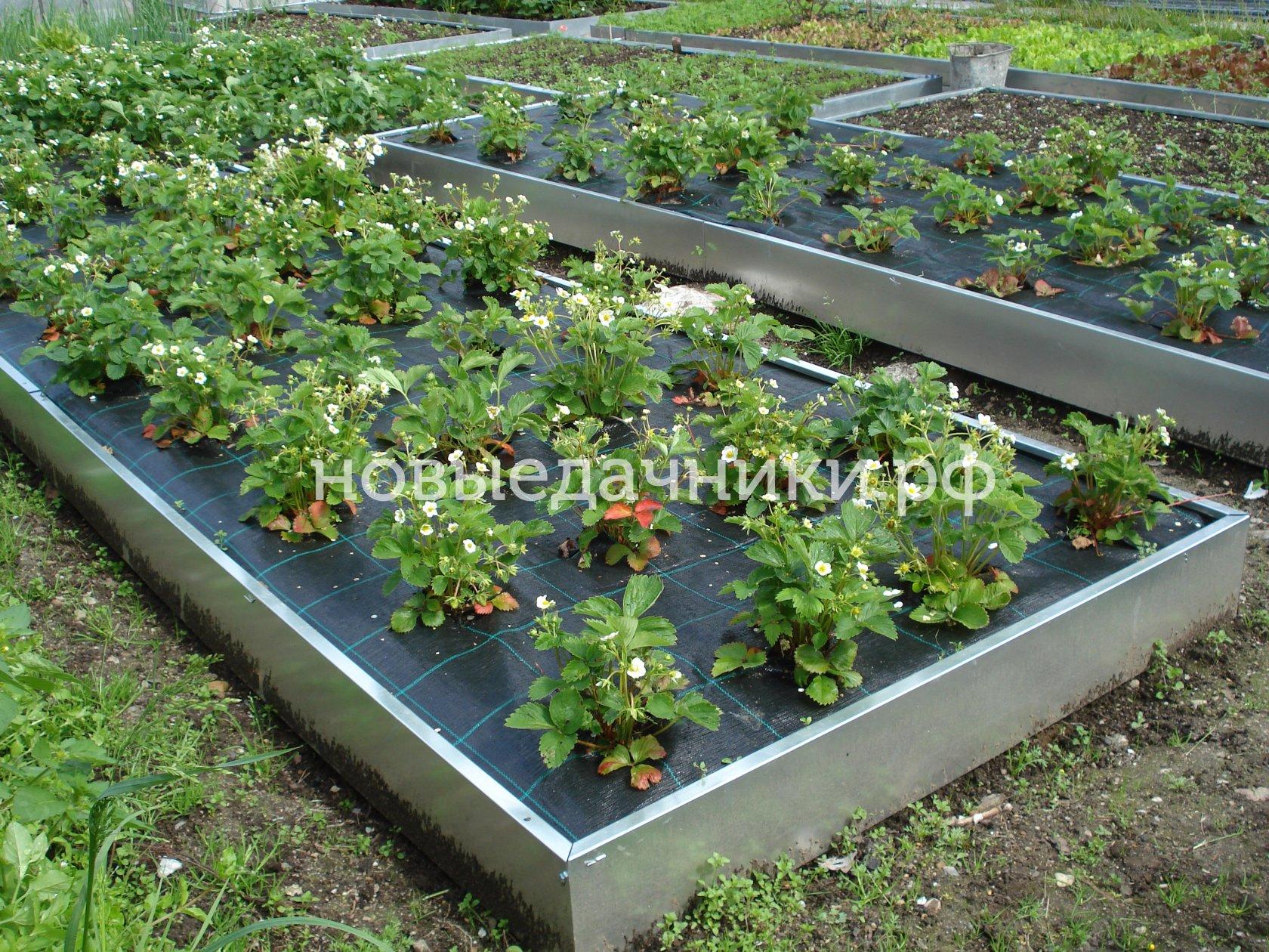 Как посадить помидоры под пленку 78