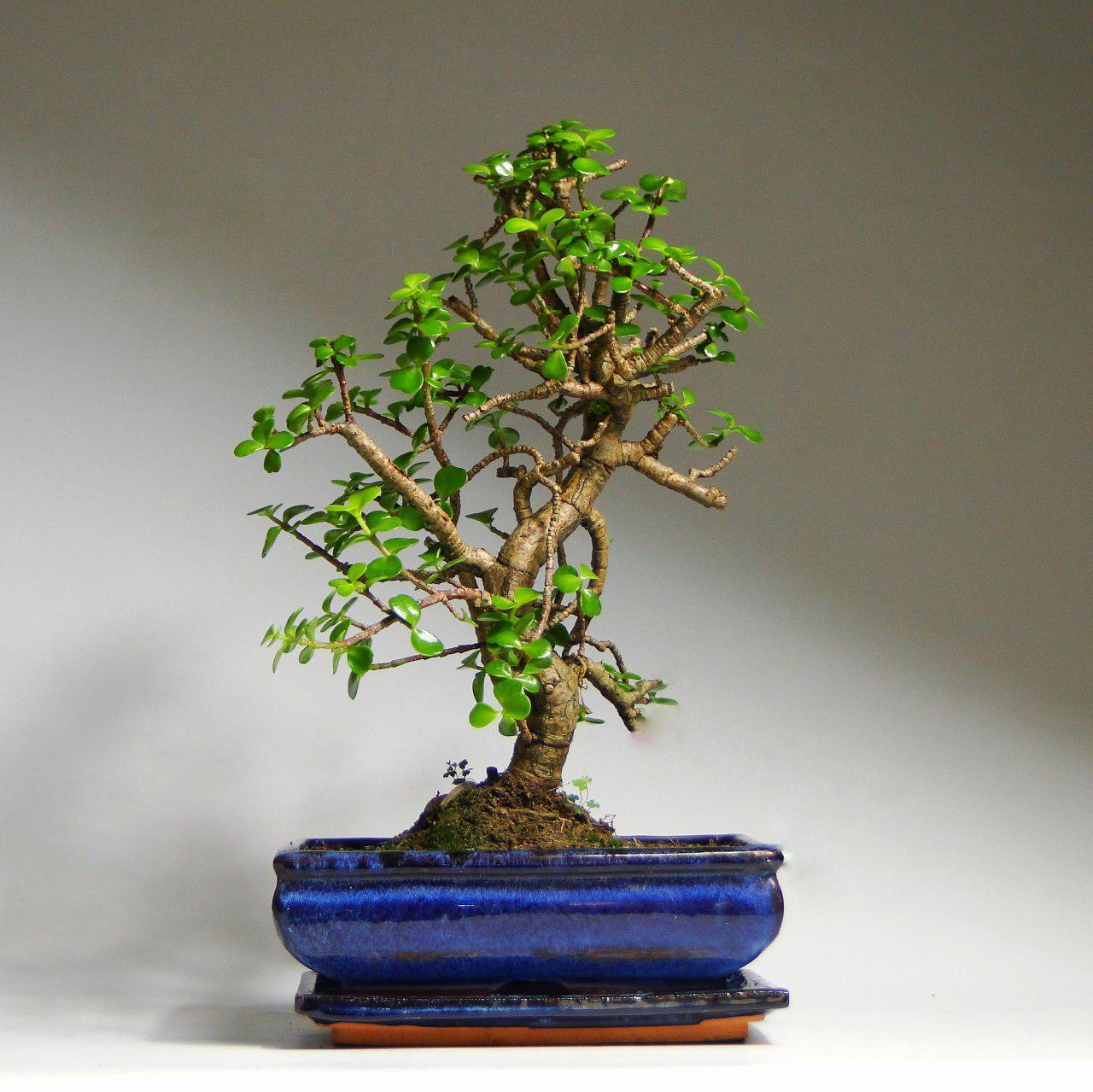 Как вырастить дерево бонсай из денежного дерева пошаговое фото