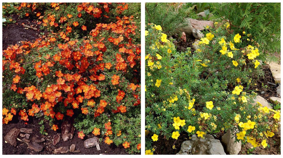 Лапчатка кустарниковая уход и выращивание полезные свойства 95