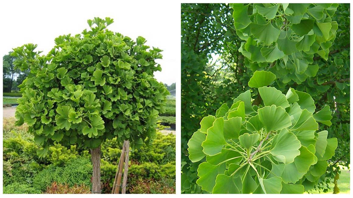 Гинкго двухлопастное выращивание 34