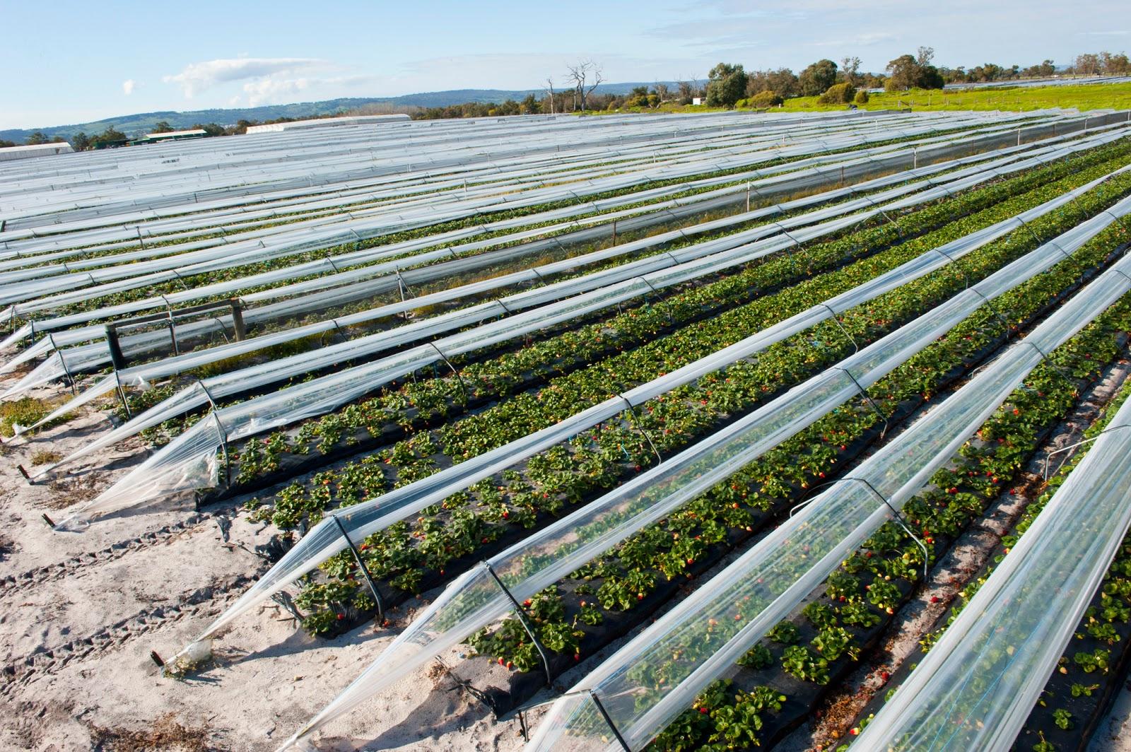 Выращивание клубники в промышленных масштабах как бизнес