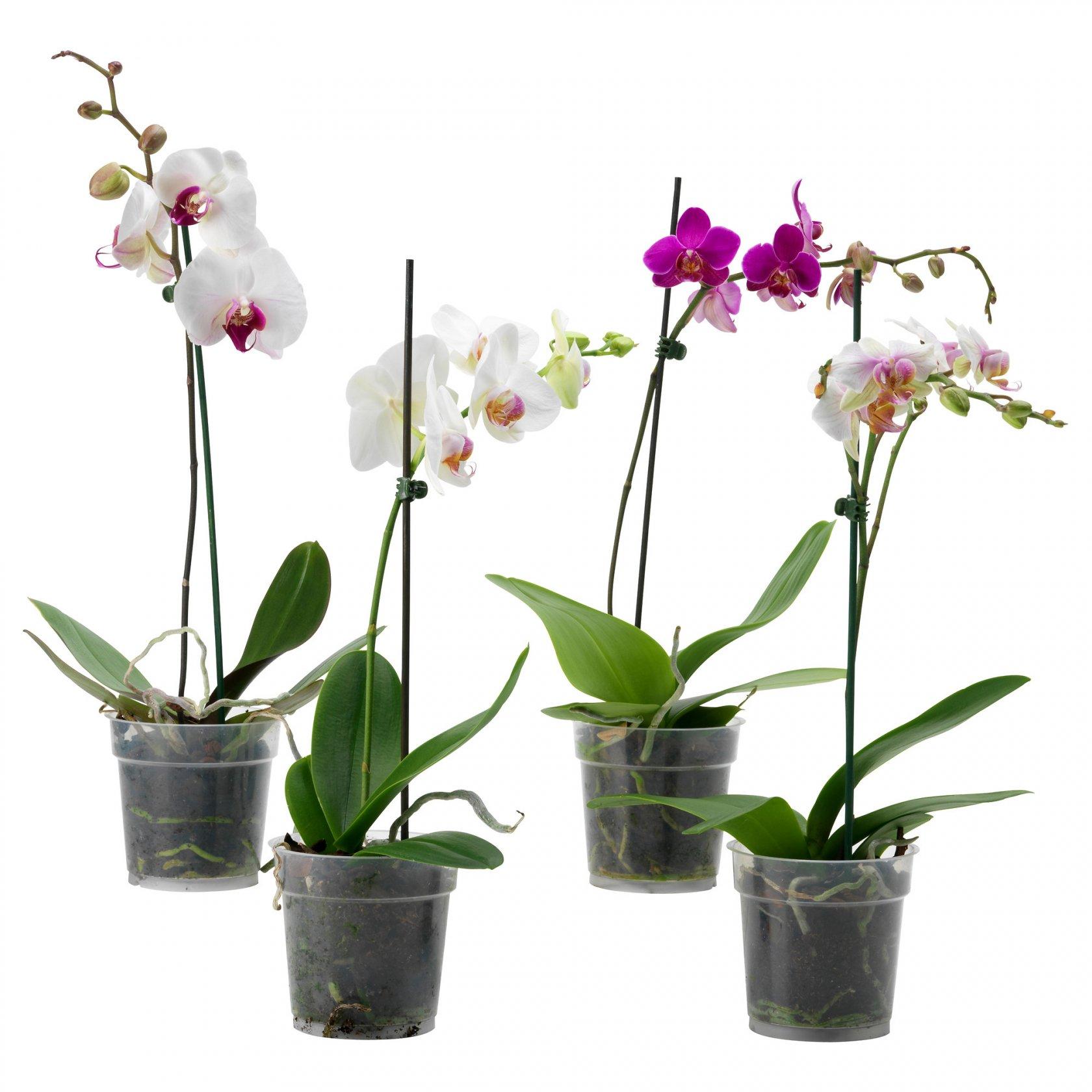 Фотоурок по пересадке орхидей Клуб любителей орхидей 63