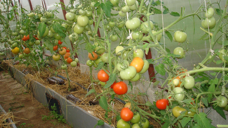 Томат пуговка выращивание дома фото