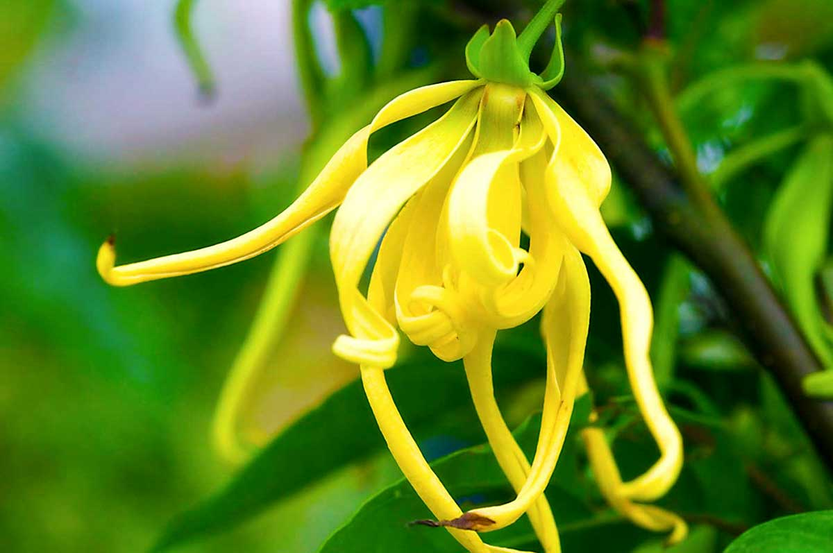 Иланг-иланг цветы