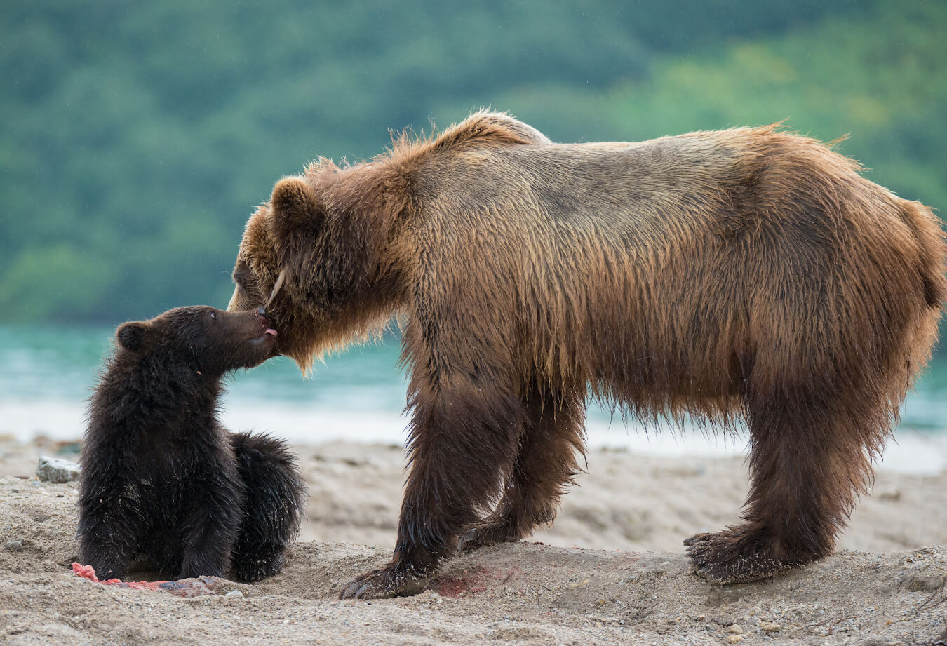 Камчатские медведи