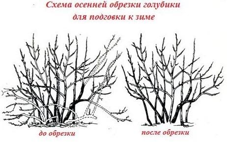 Удалять с куста голубики нужно старые, поврежденные, перекрещивающиеся, маленькие и лишние ветки