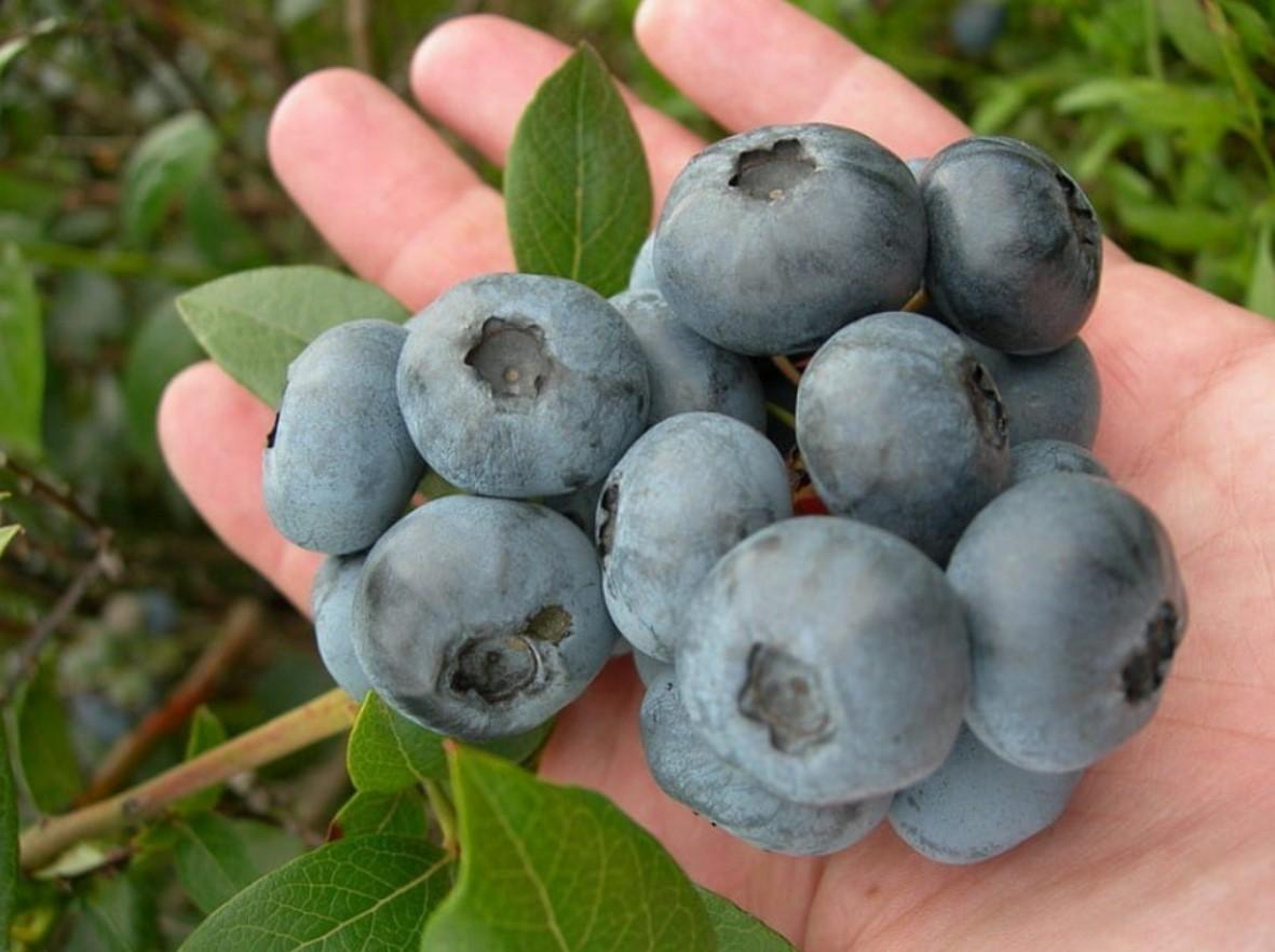 Плоды ценятся своим омолаживающим, антиоксидантным и противораковым воздействием на организм человека