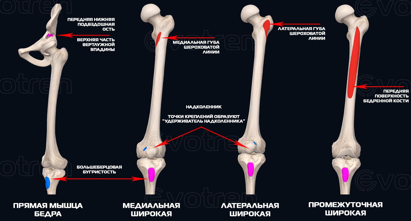 Места крепления четырехглавой мышцы бедра