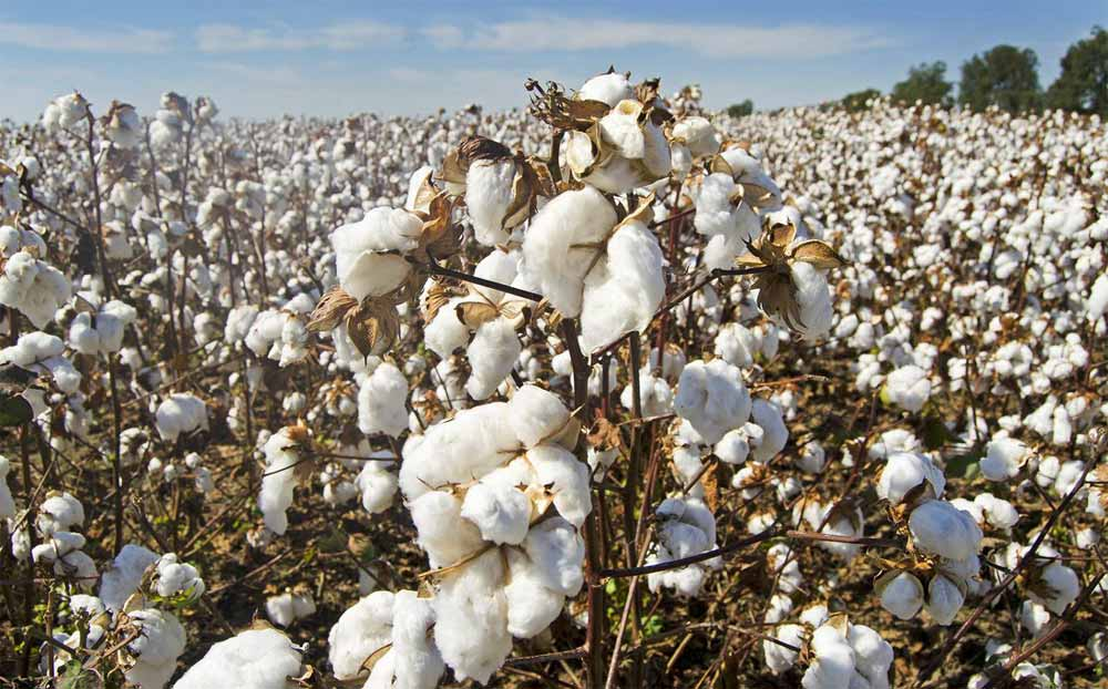 Растението памук се използва за създаване на памучни тъкани и на материи от смесен тип с естествени и синтетични влакна.