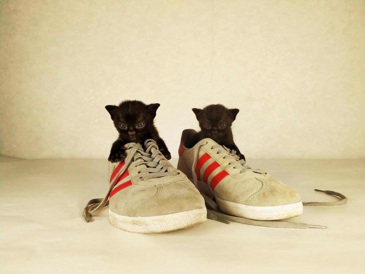 два бомбейских котенка в кроссовках adidas