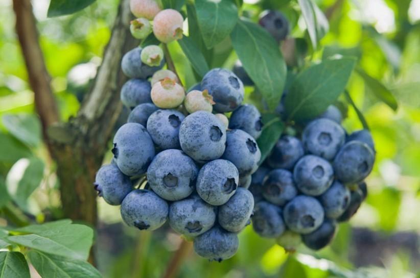 Голубика Чандлер превосходит своих сородичей по размерам ягод. Она радует стабильным и длительным плодоношением. Единственный минус – непригодность плодов для длительного хранения и перевозки