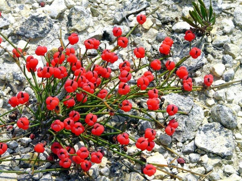 Наркотическое растение Эфедра