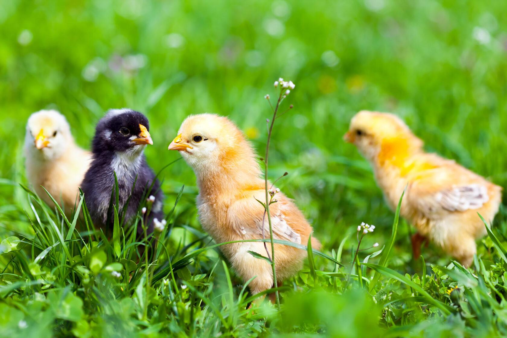 Суточные цыплята ростовская область