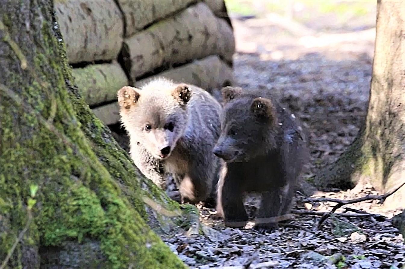 Hairy Hung Chubby Bear Tgp