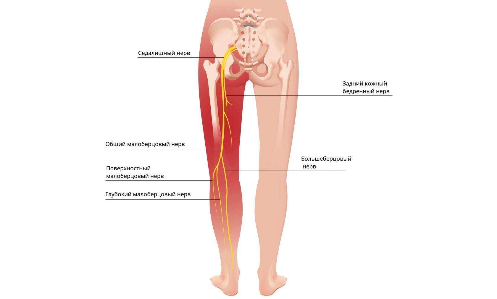 Анатомия седалищного нерва человека