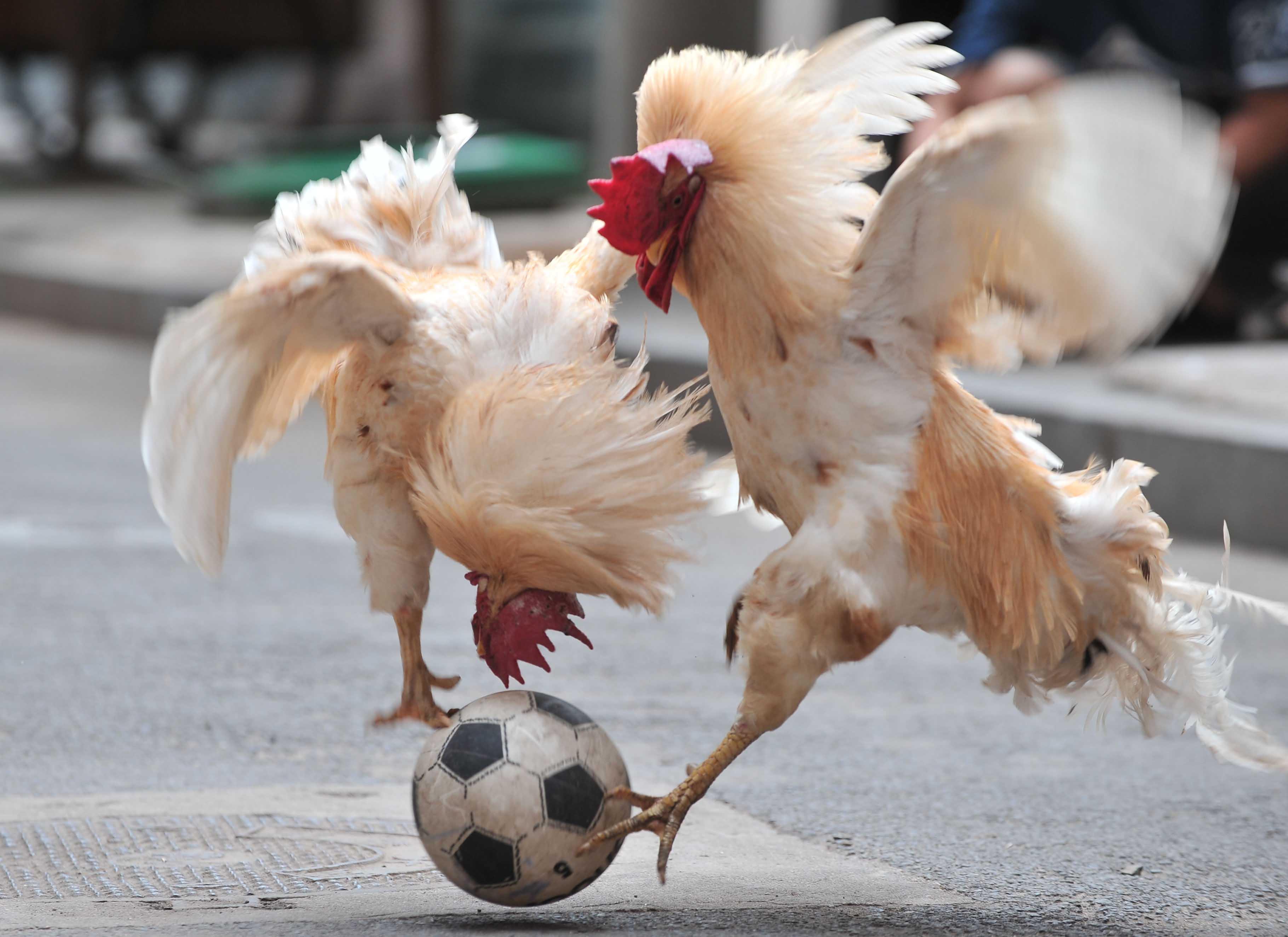 Мерцающие открытки, картинки доброе утро с курицей прикольные