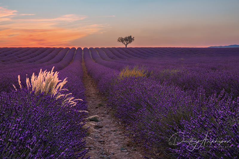 Lavender fields in bloom, Provence