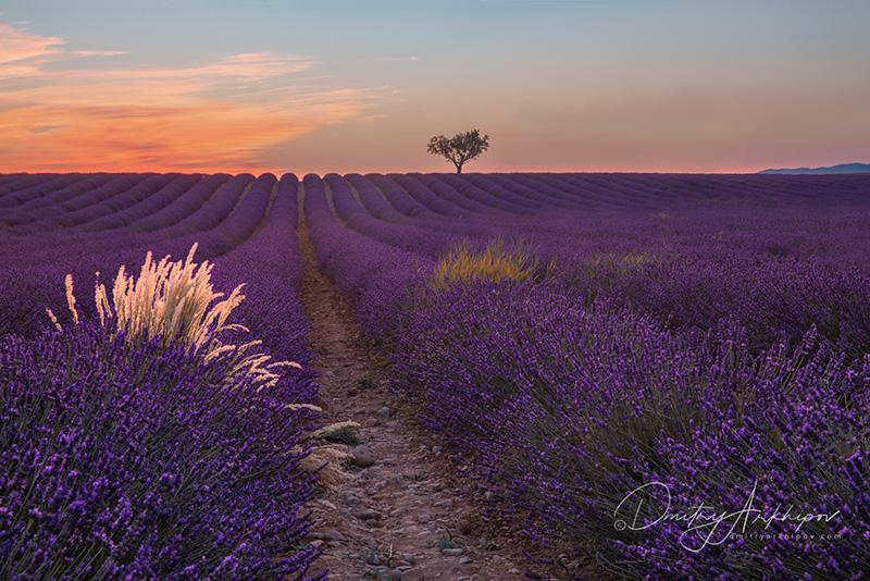 Цветущая лаванда в Провансе, Франция