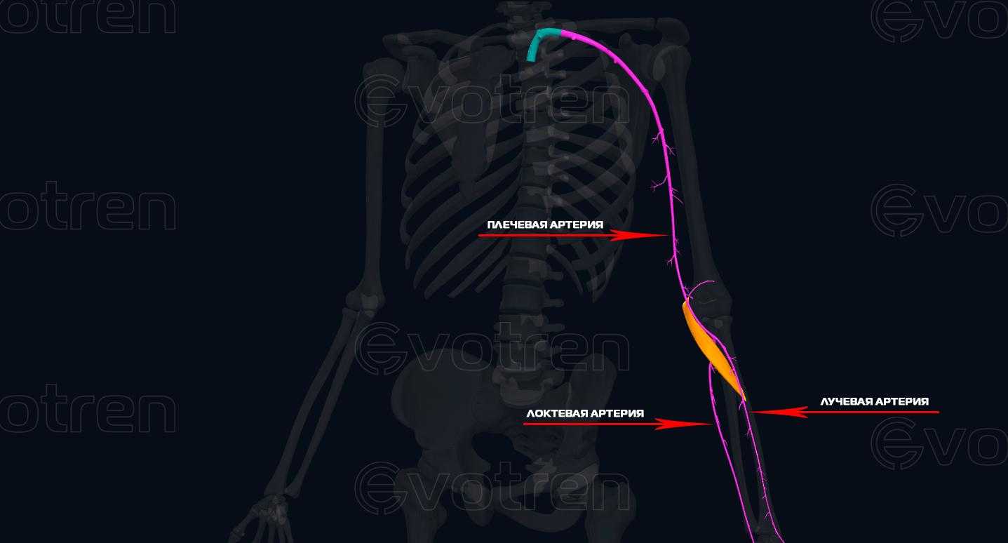 Артерии мышцы круглый пронатор