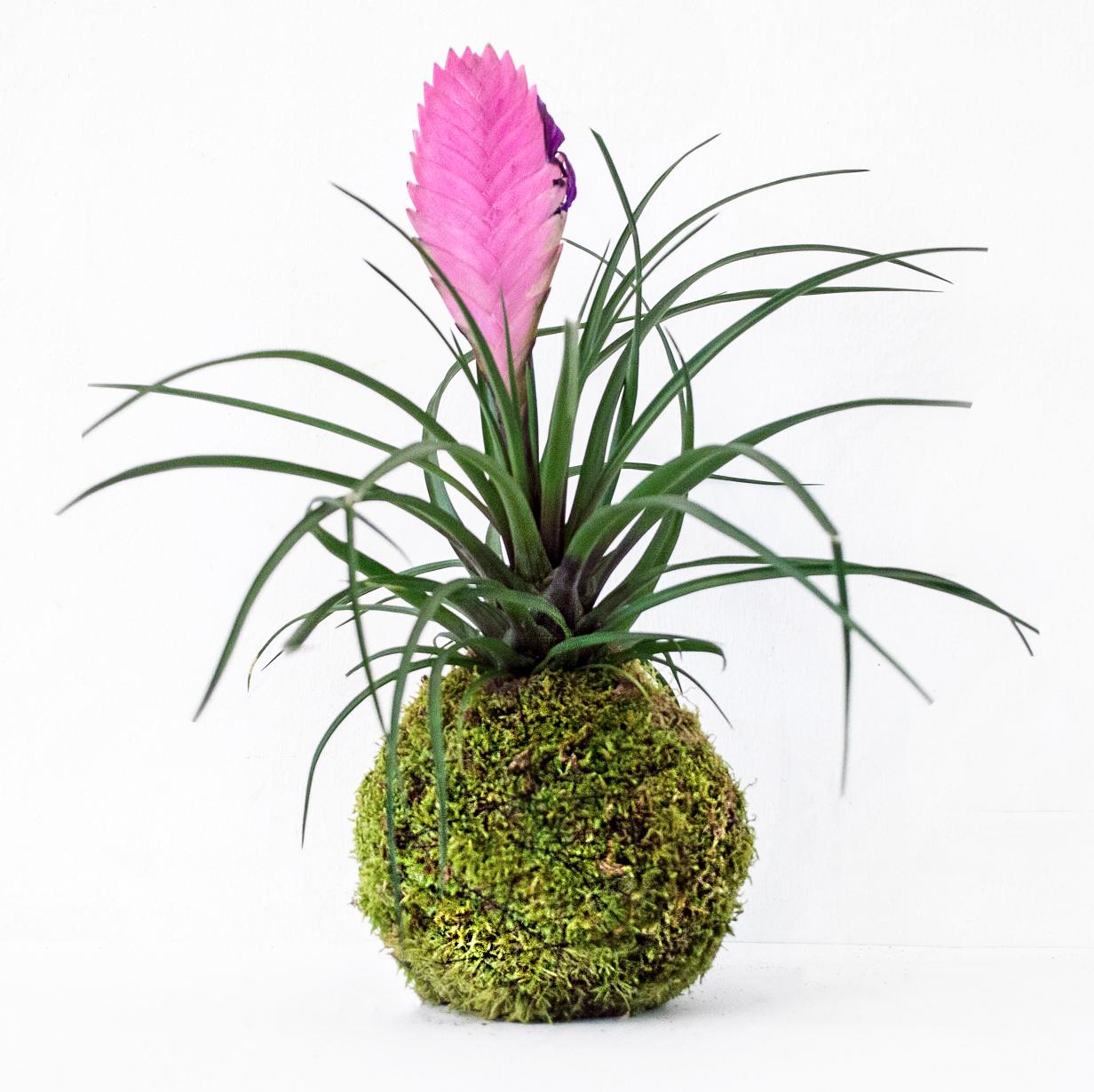 образ яркая цветок тилландсия фото частого несоблюдения сроков