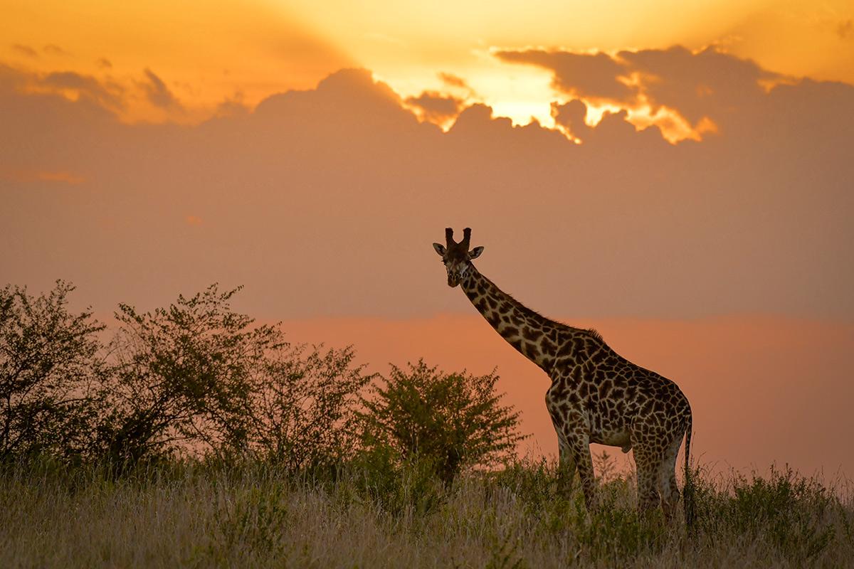 Жираф, ралли Сафари 2021
