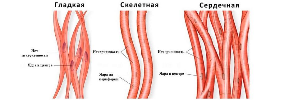Виды мышечной ткани из фитнес курса для тренеров