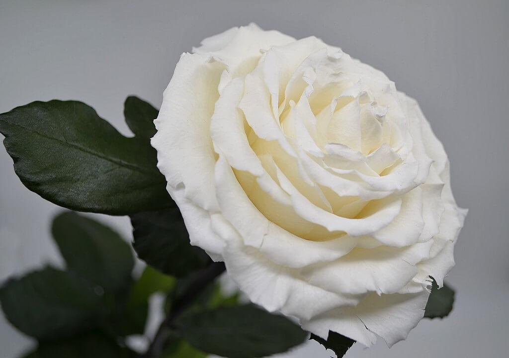 белая стабилизированная роза