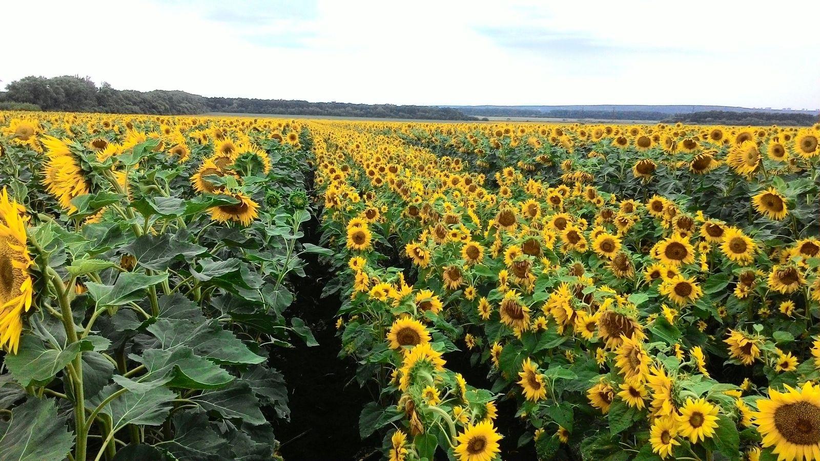 Висока врожайність, яка забезпечує прибуток
