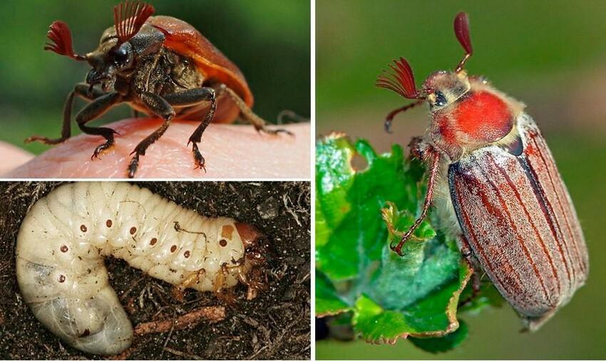 Для профилактики заражения почву под кустами обрабатывают инсектицидами  Следует отметить, что своевременное проведение профилактических мер убережет здоровье всей плантации.
