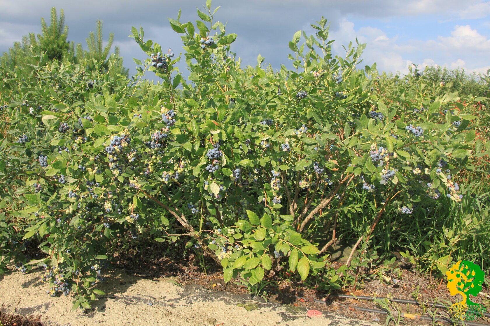 Выращивание голубики на юге страны
