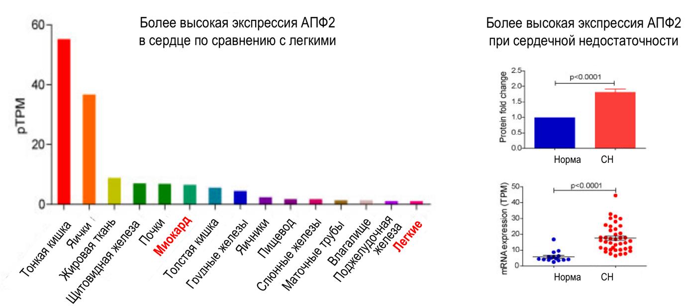 Рисунок 1. Уровень экспрессии АПФ2 в различных органах и тканях. Адаптировано из [11].