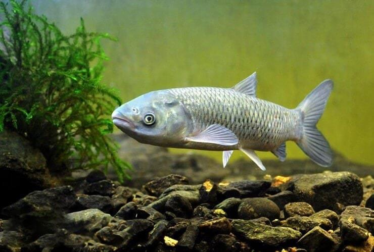 список, прудовые рыбы фото и названия черноземья гости