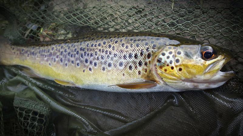 Wild brown trout caught near Brecon