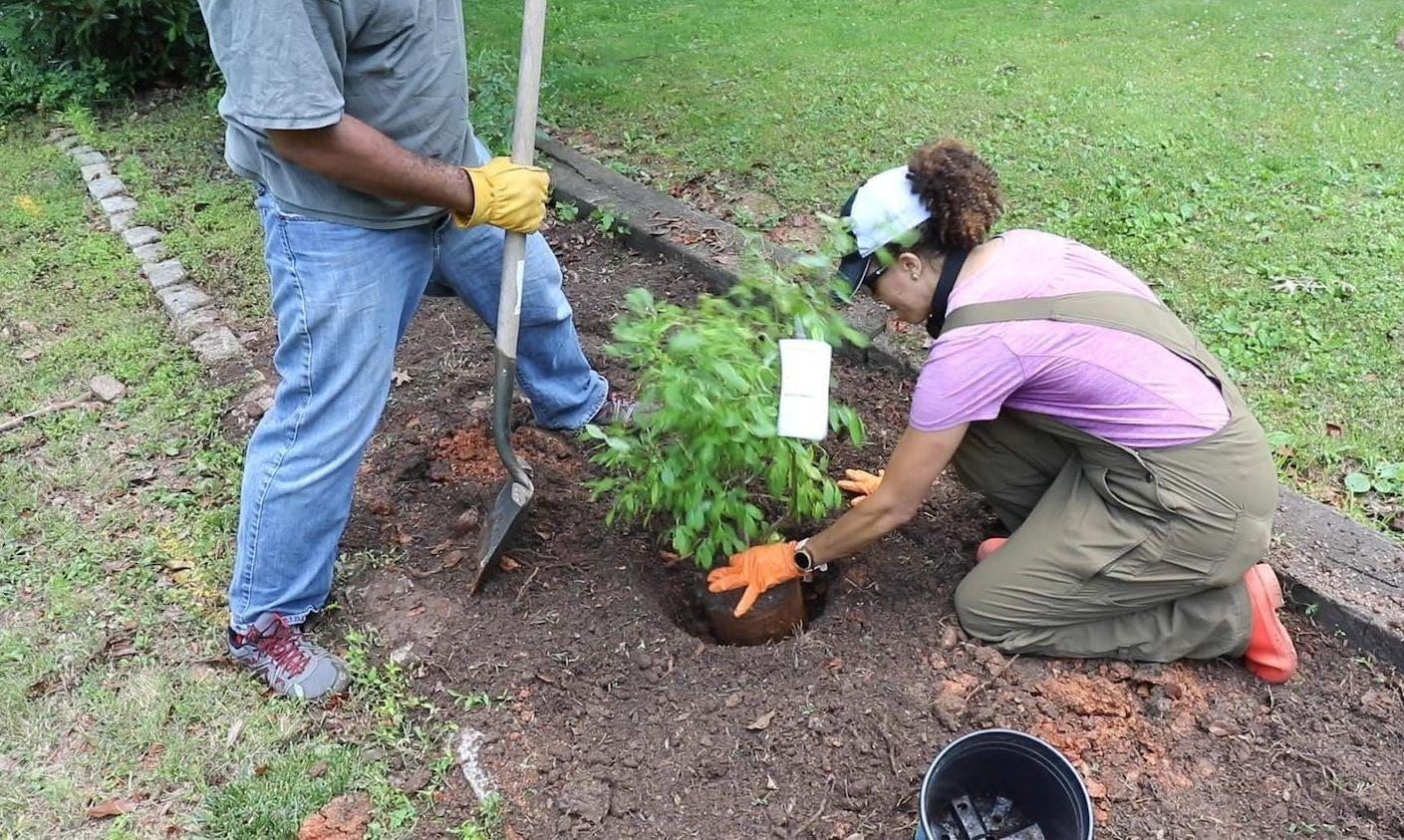 Процесс посадки садовой голубики в лунку с заранее подготовленной почвой