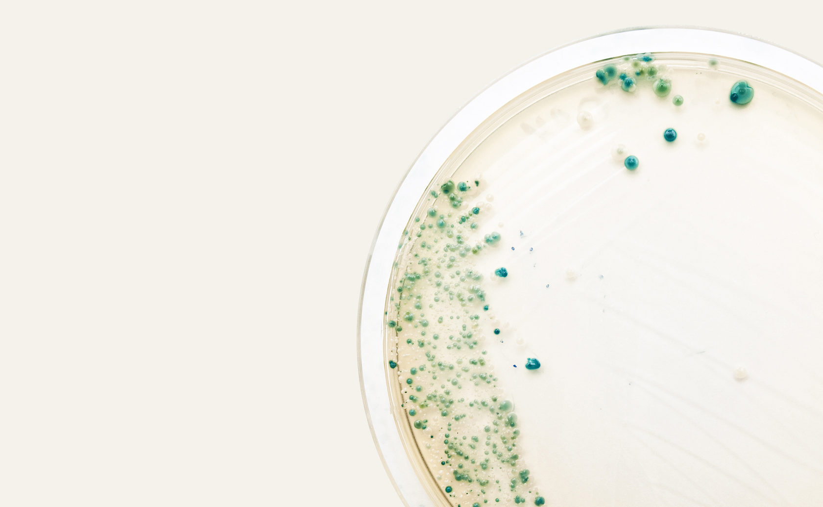 бактерии в чашке петри