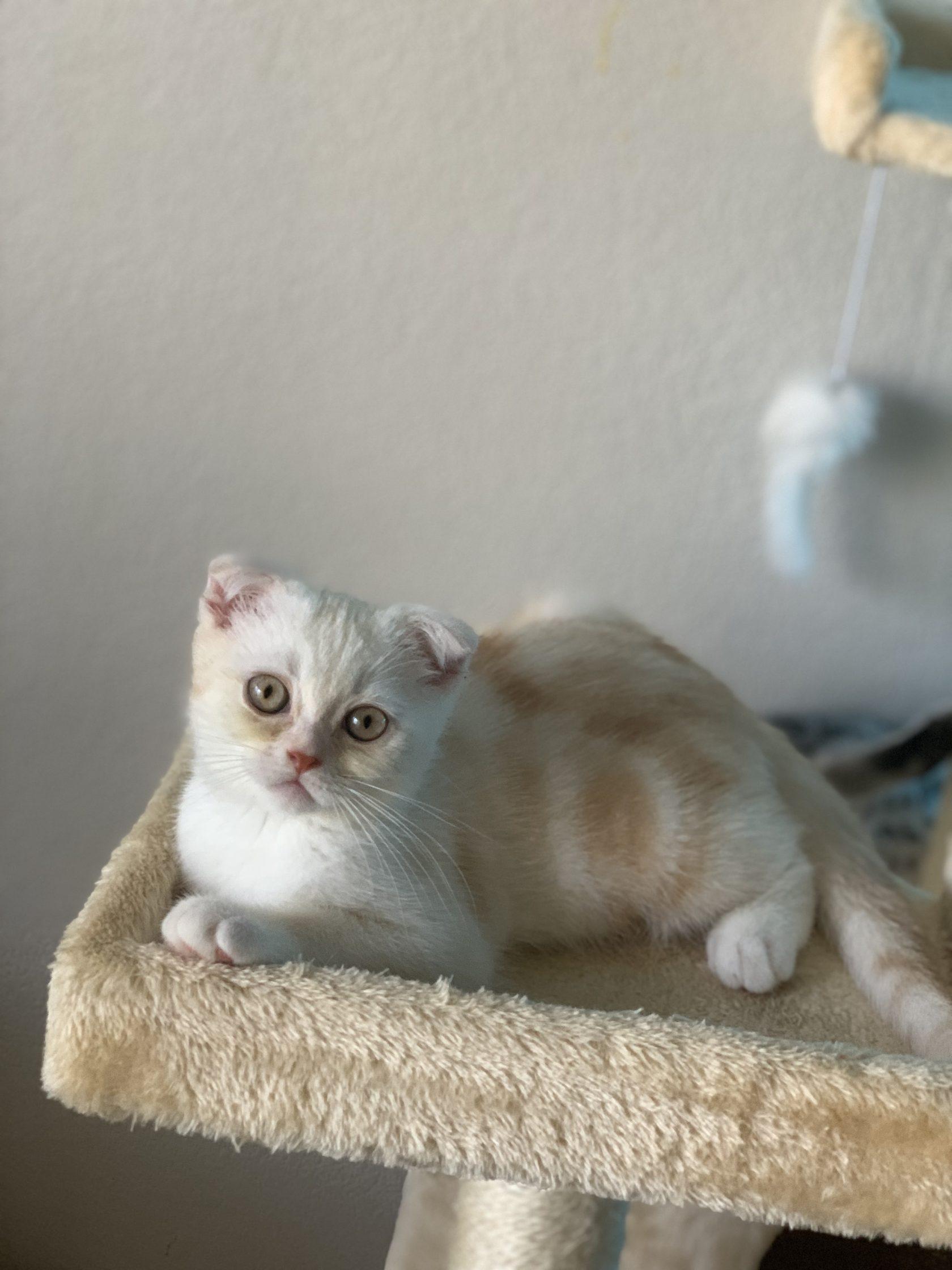 Scottish fold kittens in New York