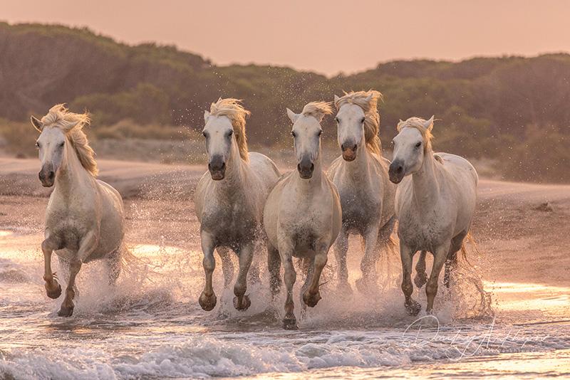 Provence photography tour. Camargue horses