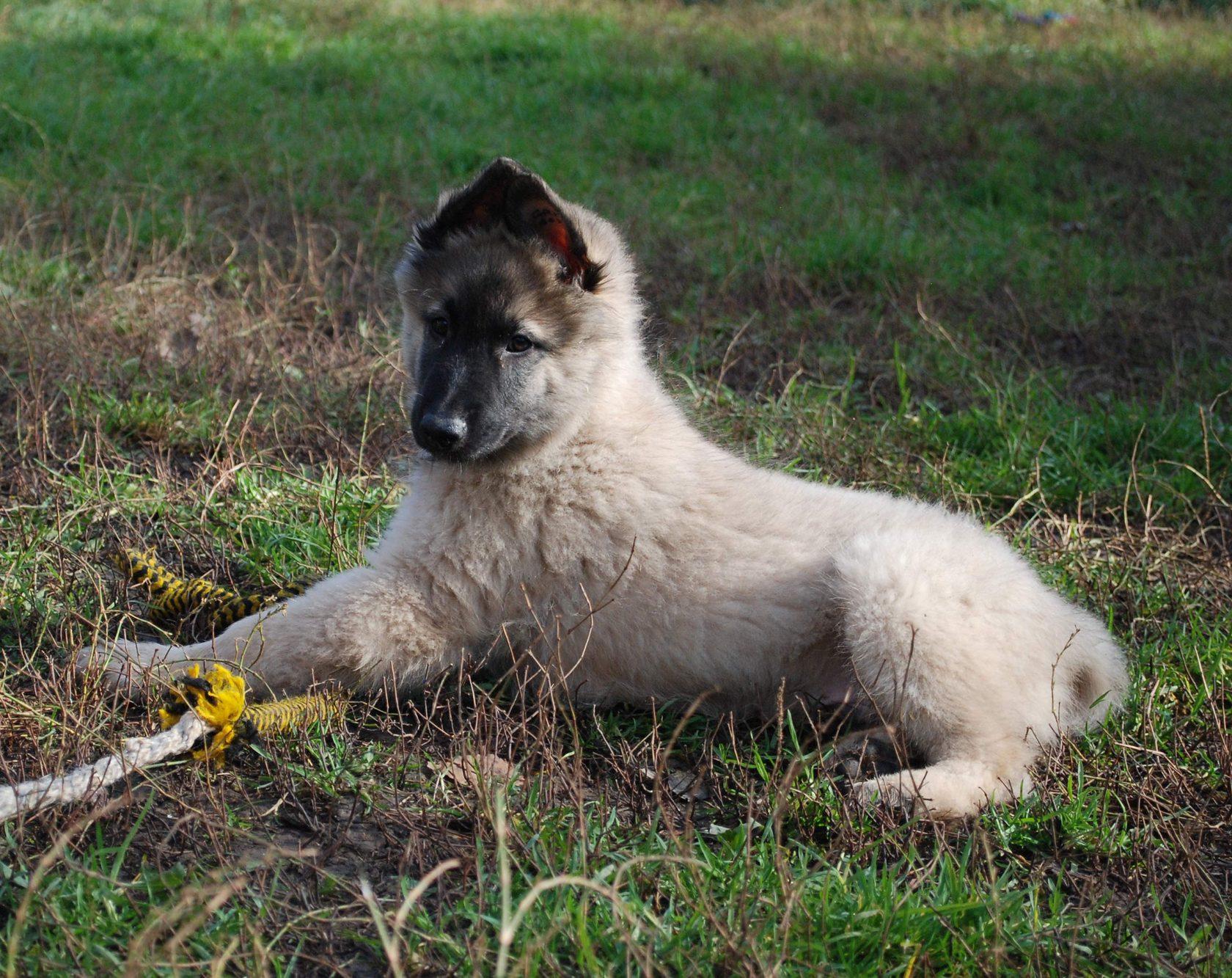 Щенок бельгийской овчарки