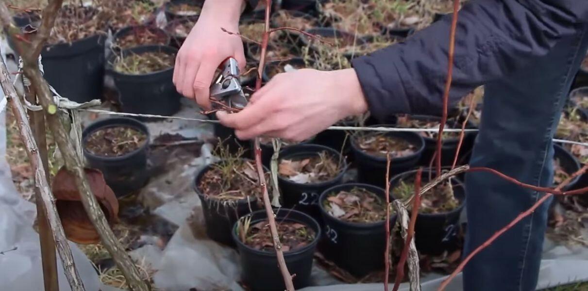 Удаление засохших и сломанных веток голубики весной
