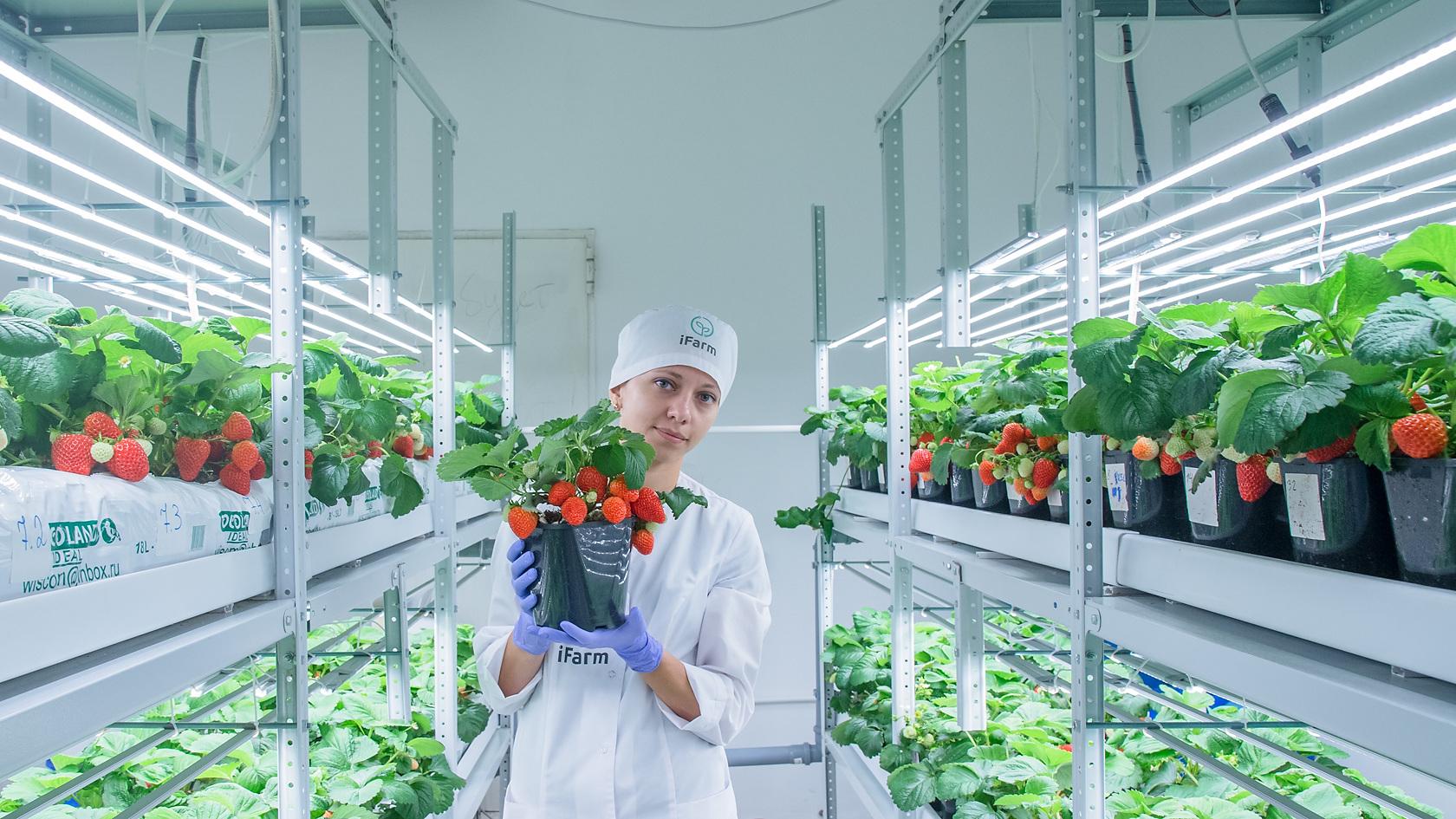 Vertical farm (strawberry), showroom Novosibirsk, Academgorodok