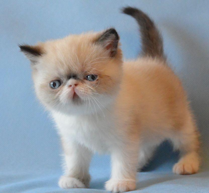 Фото котенка экзотического короткошерстного