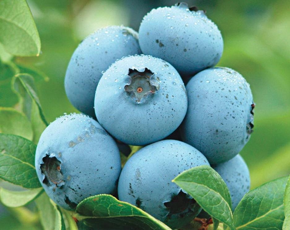 Плоды голубики Нортланд очень вкусные, кисло-сладкие и невероятно душистые