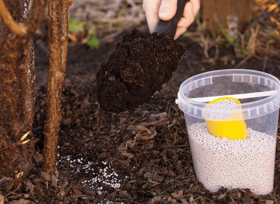 Сухое удобрение рассыпают по периметру куста, предварительно полив почву