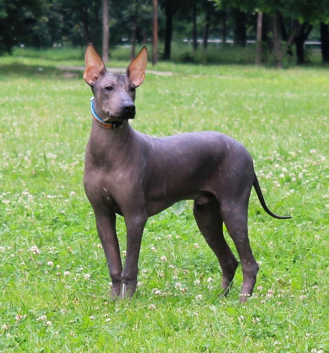 23. Мексиканская голая собака (ксолоитцкуинтли)