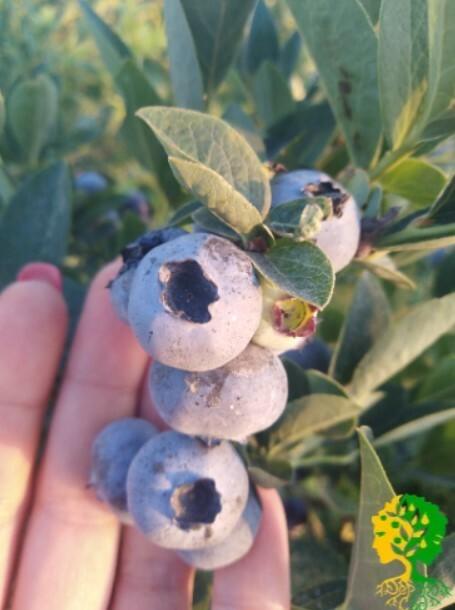 Из-за высокой урожайности куст голубики сорта Дюк могут обламываться