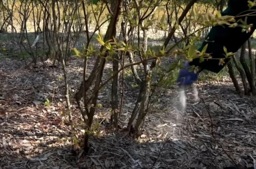 Первую подкормку кустарника выполняют с началом сокодвижения