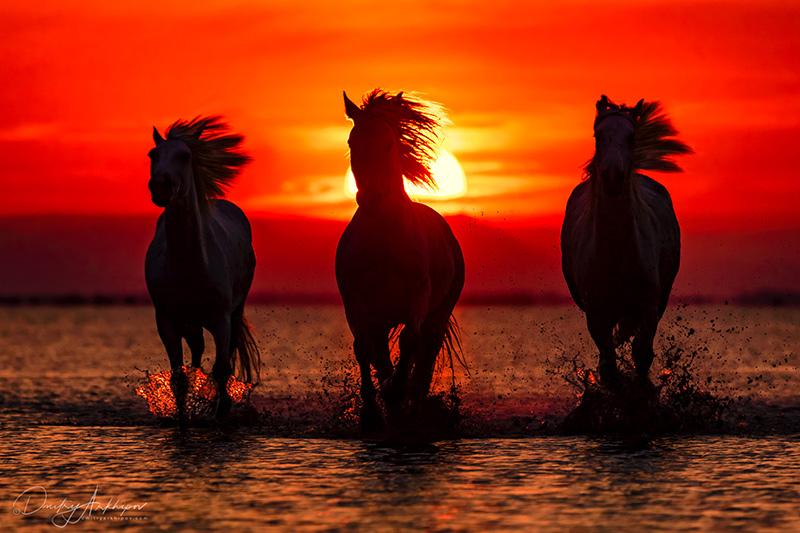 Horses of Camargue, Provence
