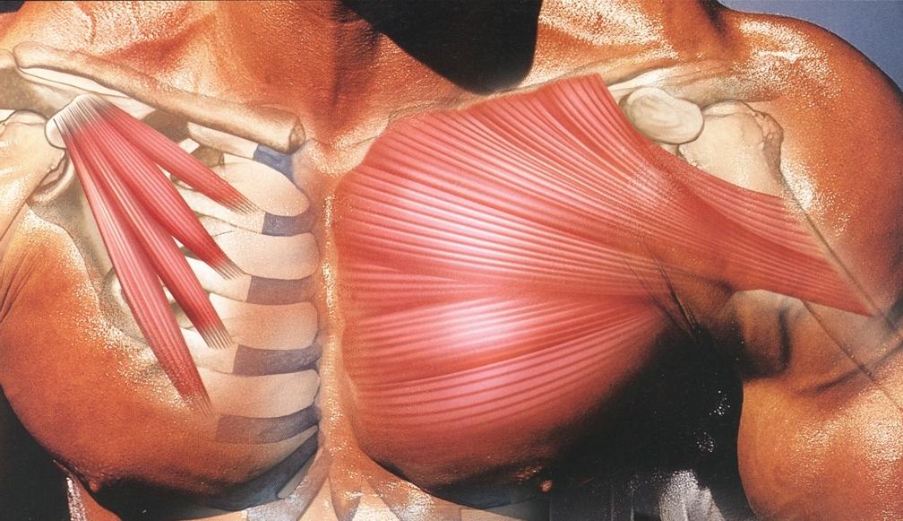 левая грудная мышца