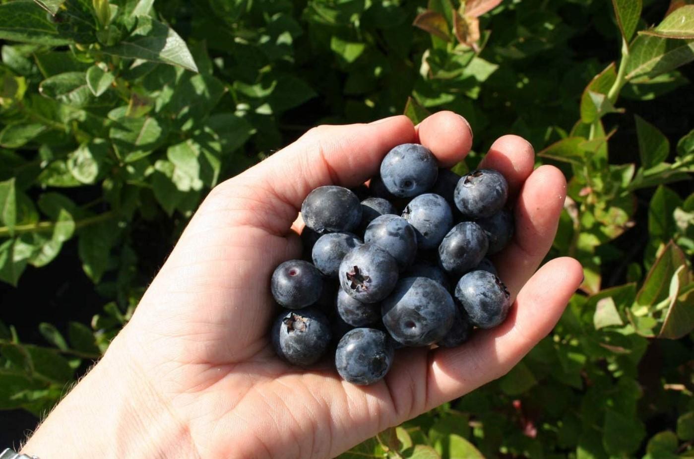 Голубика Бригитта блю стабильно радует сочными, вкусными и ароматными плодами