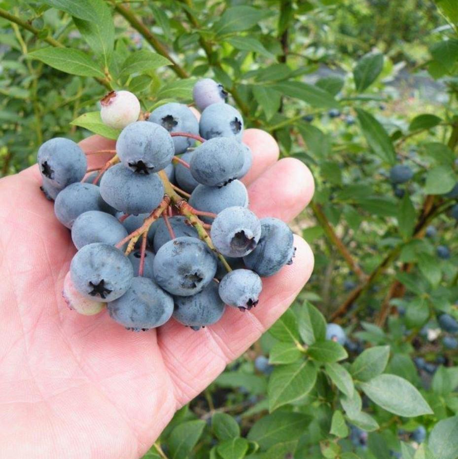 Голубика Легаси дает до 12 килограммов вкусных ягод